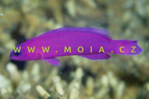 Pseudochromis fridmani   - sapínovec Fridmanův   (odchov)