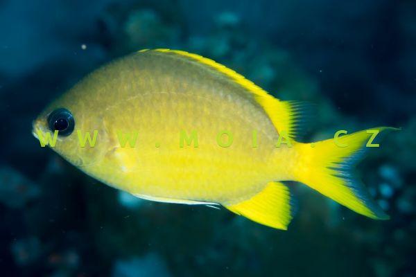 Chromis analis  - sapín žlutý