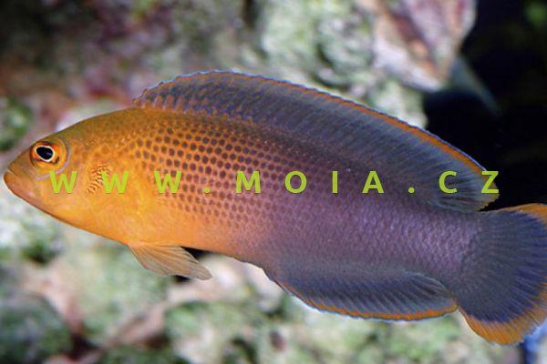 Pseudochromis dilectus  - sapínovec královský