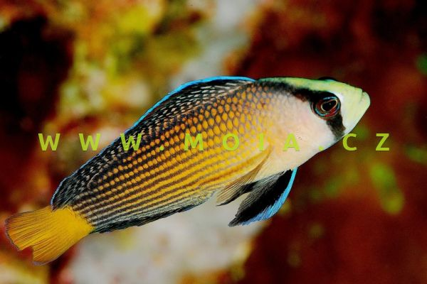 Manonichthys splendens - sapínovec nádherný