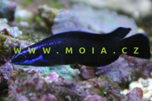 Pseudochromis springeri  - sapínovec Springerův