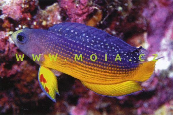 Manonichthys alleni - sapínovec      Allenův