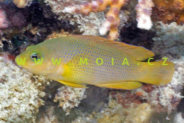 "Pseudochromis fuscus  ""juv"" - sapínovec temný"