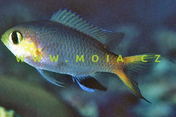 Chromis acares - sapín žlutohlavý