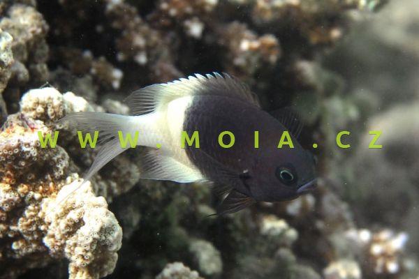 Chromis dimidiata - sapín dvoubarevný