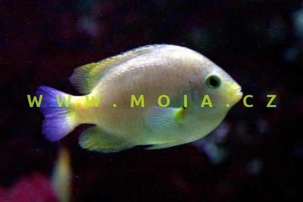 Pomacentrus moluccensis – sapín molucký