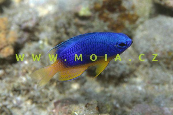 Pomacentrus caeruleus – sapín blankytný