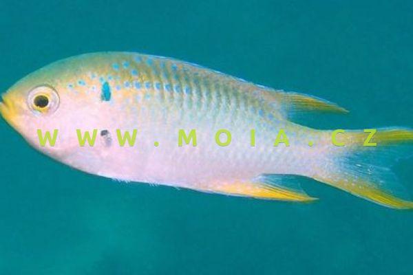 Neopomacentrus nemurus  – sapínek korálový