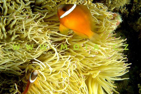 Amphiprion barberi  - klaun   Barberův