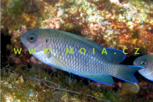 Pomacentrus coelestis  – sapín žlutoocasý