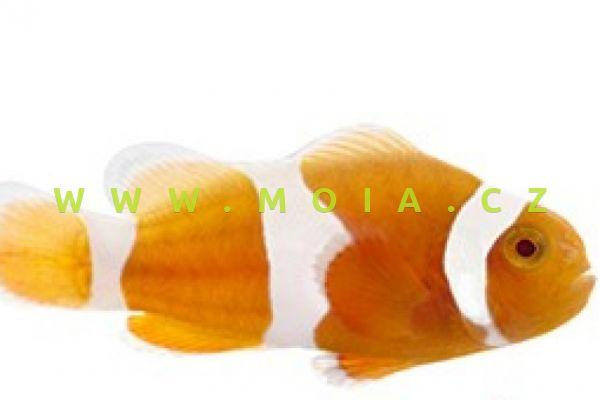 "Amphiprion ocellaris var. ""Tangerine Albino"" – klaun očkatý"