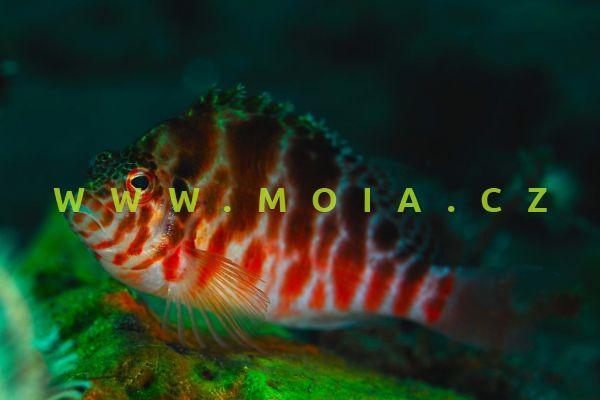 Cirrhitichthys oxycephalus  - štětičkovec špičatohlavý