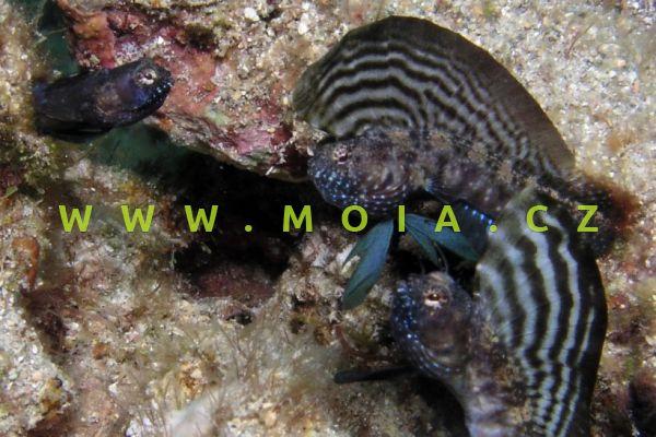 Emblemaria pandionis - slizounek vysopohřbetý