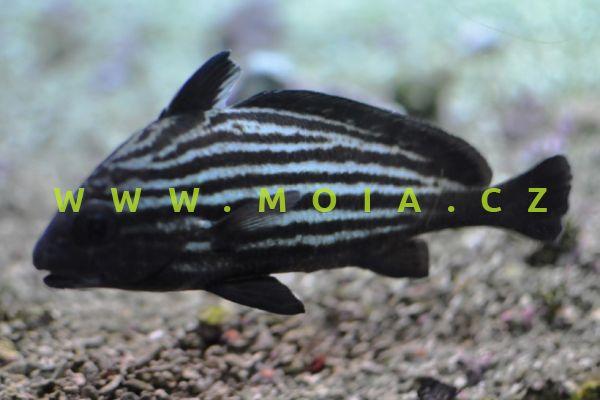 Equetus acuminatus - kavalír podélnopruhý