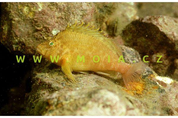 Cirrhitichthys aureus  - štětičkovec žlutý