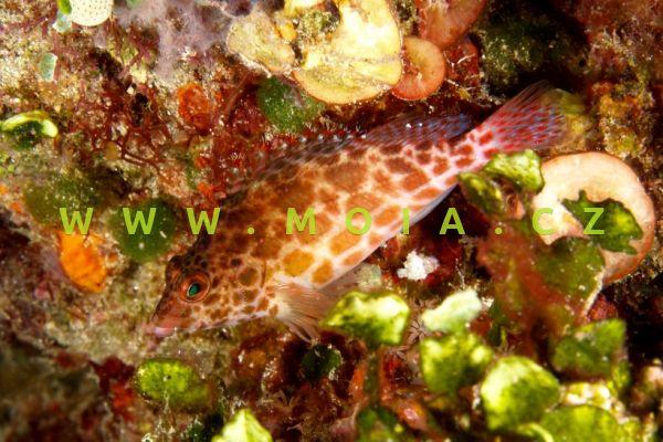 Cirrhitichthys aprinus  – štětičkovec různoskvrnitý