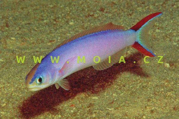 Hoplolatilus purpureus – štíhlice purpurová