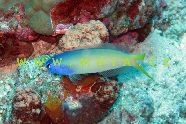 Hoplolatilus starcki – štíhlice modrohlavá