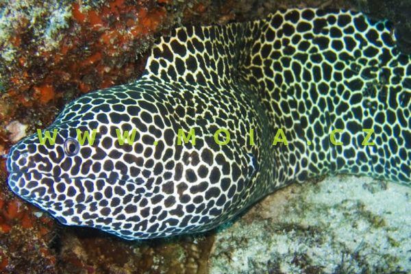Gymnothorax favagineus  - muréna sítˇovaná