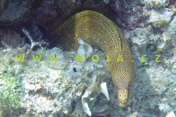Gymnothorax miliaris  - muréna žlutoocasá