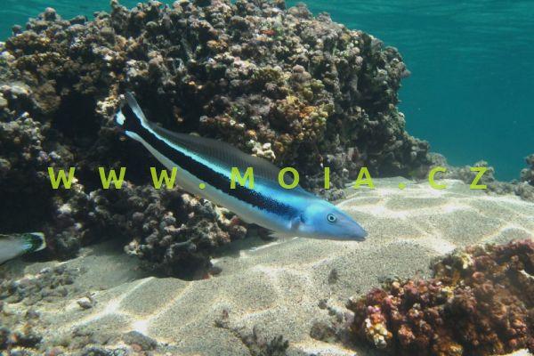 Malacanthus latovittatus  – štíhlice modrá