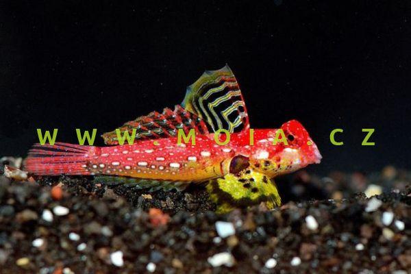 "Synchiropus marmoratus ""red"" - vřeténka  mramorovaná"