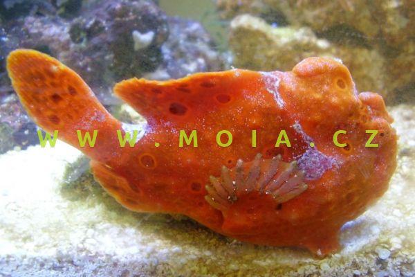 """Antennarius pictus """"red"""" - rozednatec pestrý"""