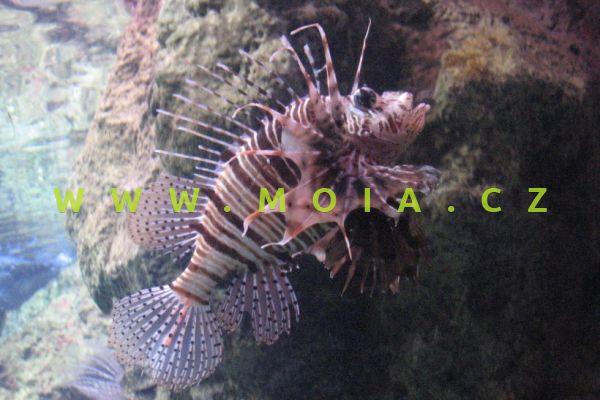 Pterois mombasae  - perutýn africký