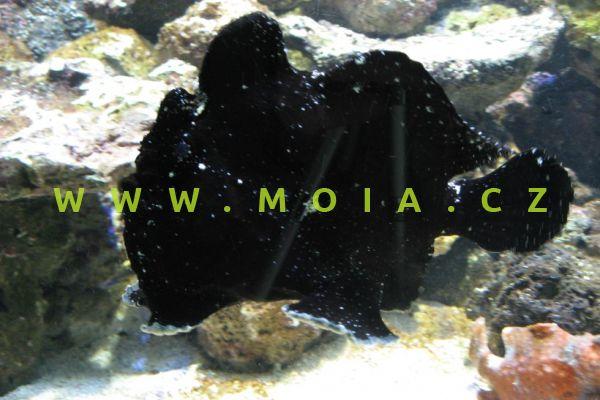 """Antennarius commerson """"black"""" - rozednatec Commersonův"""