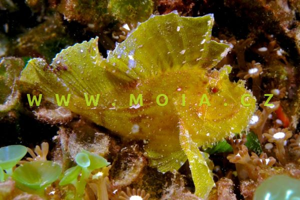 Taenianotus triacanthus - houpavec ropušnicovitý