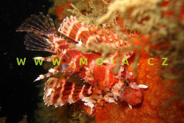 Dendrochirus brachypterus  - perutýn krátkoploutvý