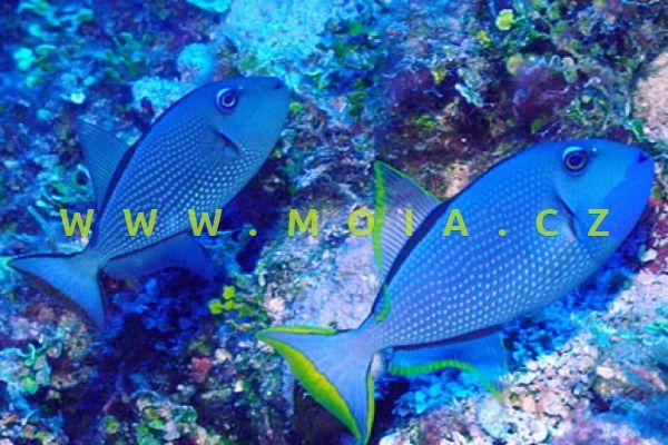"Xanthichthys auromaginatus ""female"" - ostenec zlatolemý"