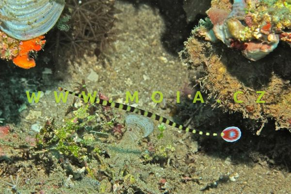 Doryrhamphus dactyliophorus – jehla pruhovaná