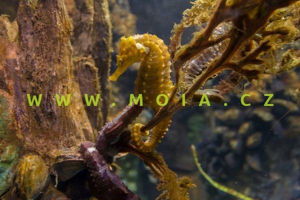 Hippocampus erectus  - koníček vzpřímený