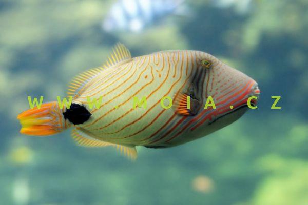 Balistapus undulatus - ostenec oranžovoproužkatý