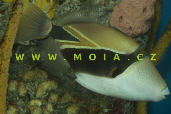 Rhinecanthus rectangulus  – ostenec klínovitý