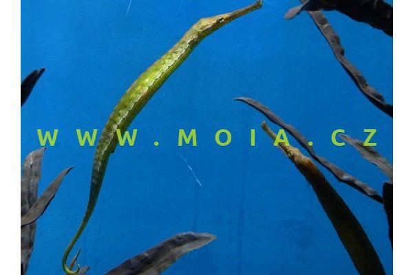 Syngnathoides biaculeatus – jehla dvoutnná