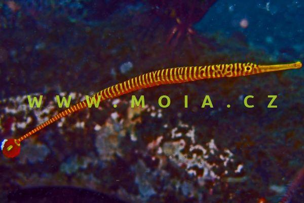 Doryrhamphus pessuliferus – jehla kroužkovaná