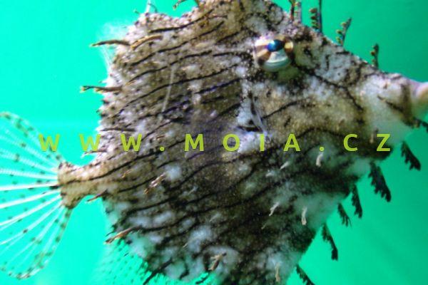 Chaetodermis penicilligerus - pilníkotrn třásnitý