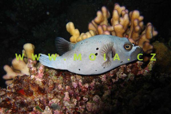 Arothron nigropunctatus  - čtverzubec černoskvrnný