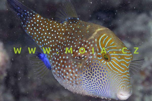 Canthigaster amboinensis - hranobřich amboinský