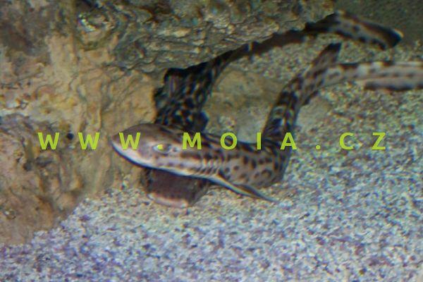 Atelomycterus marmoratus  - máčka korálová