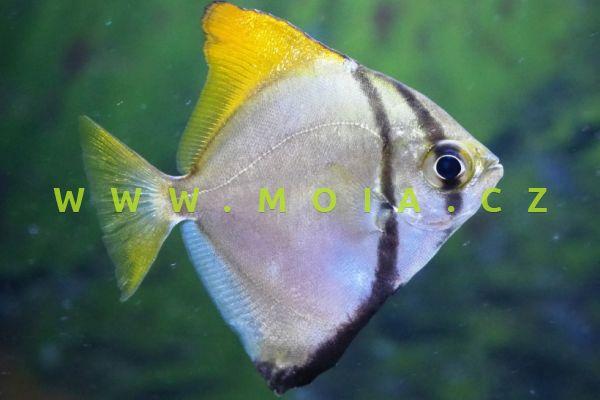 Monodactylus argenteus  - okatec stříbřitý