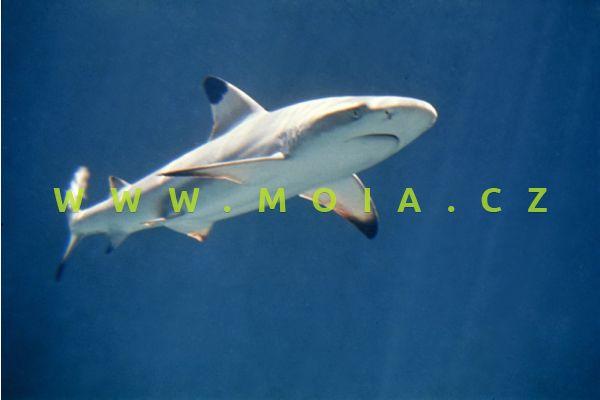 Carcharhinus melanopterus - žralok černoploutvý