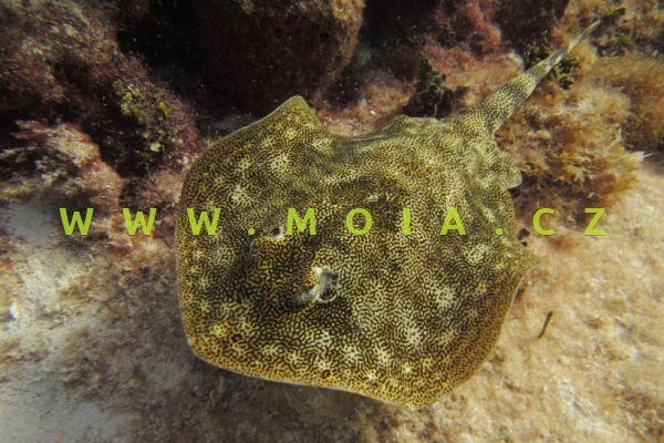 Urobatis jamaicensis   - tlustoocaska jamajská
