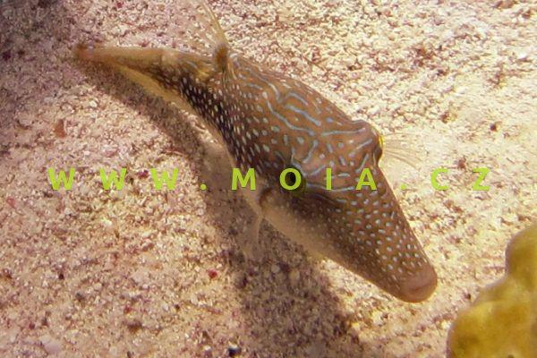 Canthigaster margaritata - hranobřich perleťový