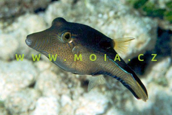 Canthigaster rostrata  - hranobřich nosatý