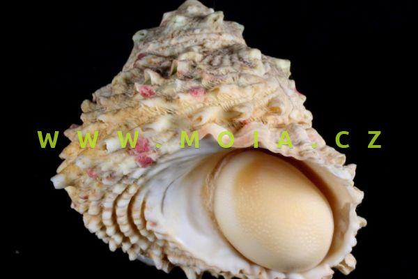 Lithopoma caelatum - donka šupinatá