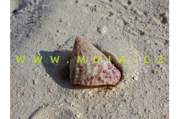 Trochus radiatus - kotouč paprsčitý