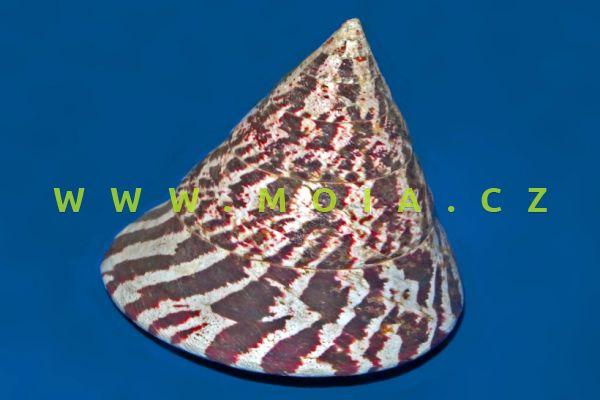 Trochus niloticus - kotouč indický